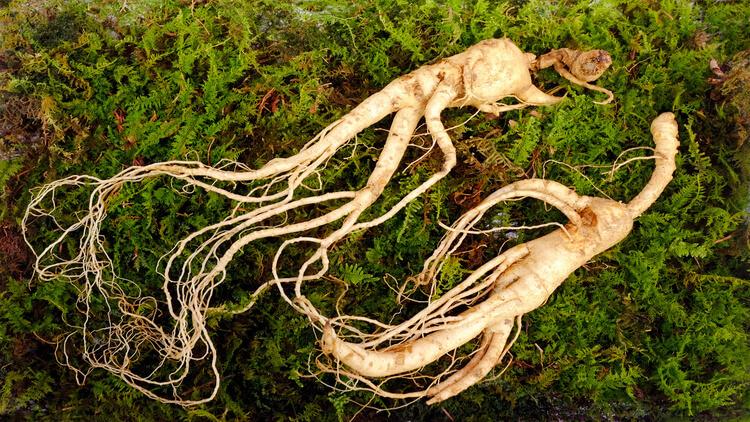 Wild Korean ginseng root.