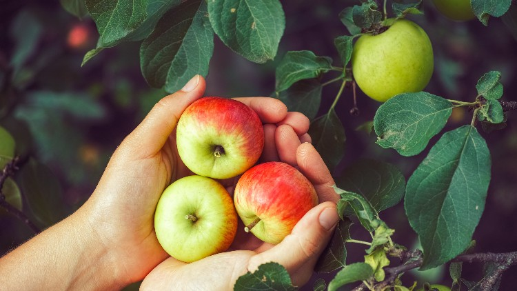 Holding half red and green apples on apple tree