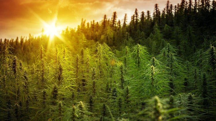 Marijuana plants in sunset